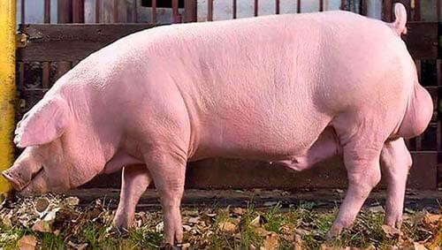 Rase de porci - Landrace