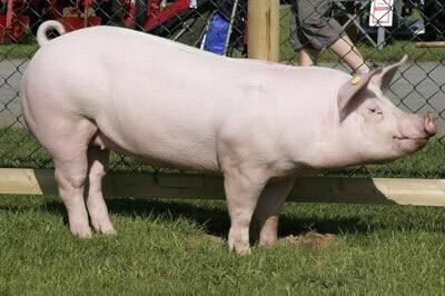 Rase de porci - Marele Alb