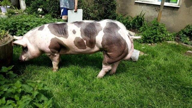 Rase de porci - Pietrain