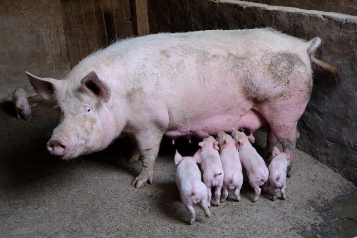 Rase de porci