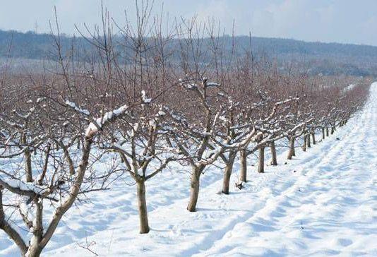 Cand se planteaza pomi fructiferi