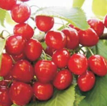 Boambe de Cotnari, soiuri de cirese romanesti