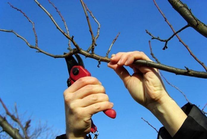 Foarfeci pomi - cum le alegem pentru o taiere de calitate
