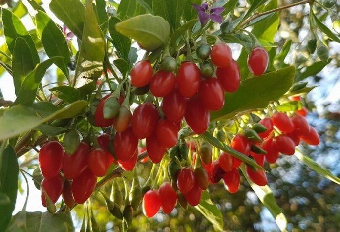 Idei de afaceri in agricultura cultura de goji