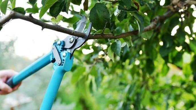 Taierea pomilor fructiferi primavara