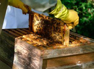 Cresterea albinelor pentru incepatori - sfaturi utile