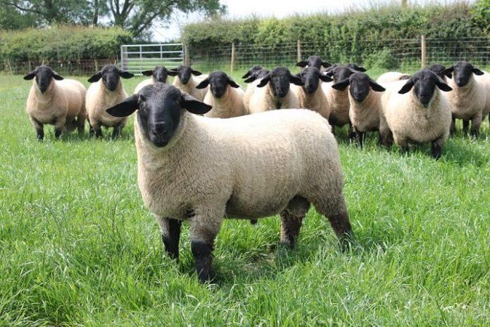 Suffolk, rasa de oi de carne