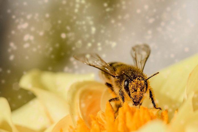 Venin de albine - informatii despre cum il putem recolta, cat si despre ce trateaza.