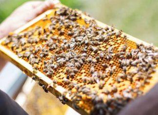 Hranirea albinelor - sfaturi pentru apicultori.