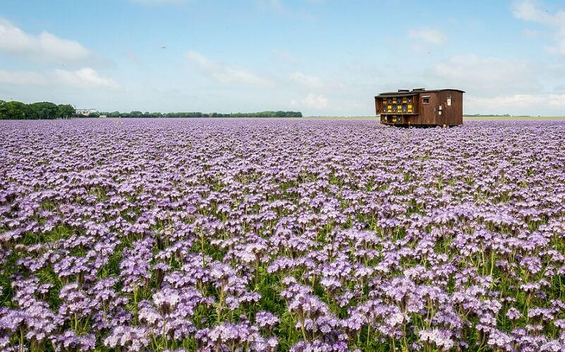 Plante melifere - cele mai importante pentru nectar si polen FOTO: J. Triepke