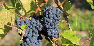 Taierea vitei de vie in verde - cele mai importante lucrari si sfaturi pentru viticultori