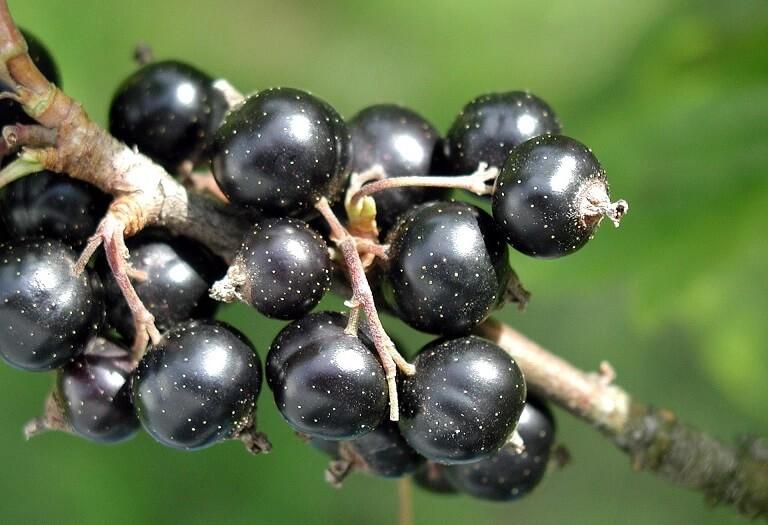 Taieri la coacaz - reguli pentru fructificari bogate si plante sanatoase