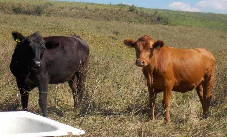 Black Angus - rasa de bovine cu cea mai scumpa carne
