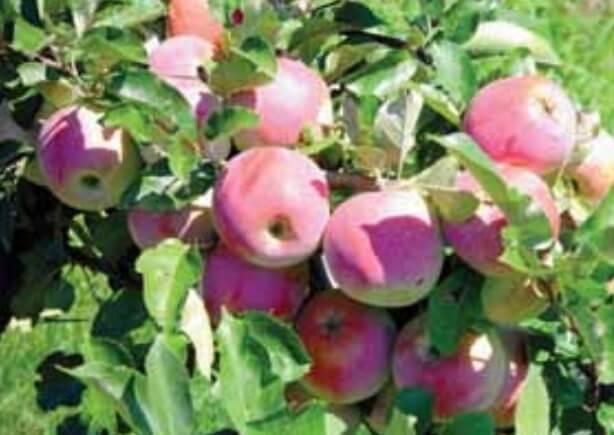 Soiuri de mere: Florina