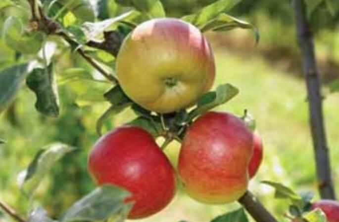 Romus - soiuri de mere