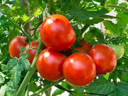 Rosia pom - ce productii poate da si cum o putem cultiva
