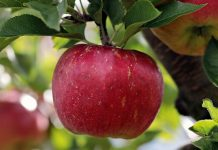 Descopera soiuri de mere productive pentru a incepe o afacere