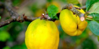 Taierea gutuiului pentru fructificari bogate