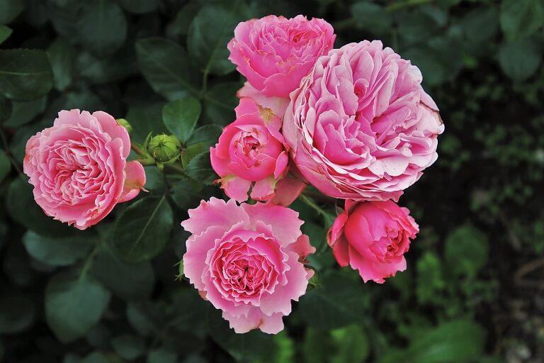 Taierea trandafirilor lucrari esentiale