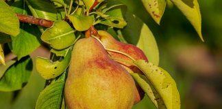 Taierile la par - lucrari necesare pentru fructificari bogate si sanatoase
