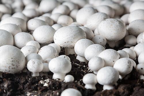 Agaricus ciuperci cultivare - ghid