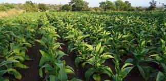 Cultivarea tutunului