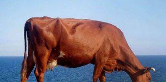Rase de vaci de lapte - Rosie de stepa