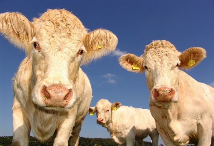 Curiozitati despre vaci