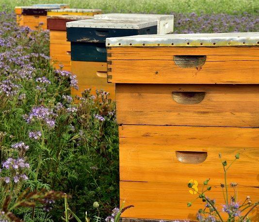 Inmultirea albinelor
