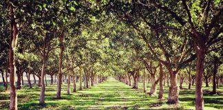 Nuci forestieri - ce investitie poate genera