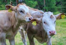 Furajarea viteilor de carne