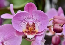 Orhidee intretinere