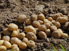 Cultura cartofului
