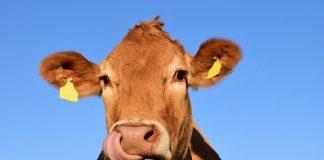 Despre vaci