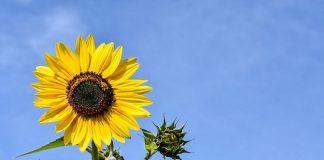 Combaterea buruienilor la floarea soarelui