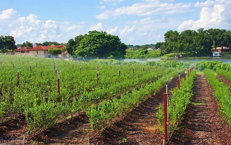 Plantatie de afine