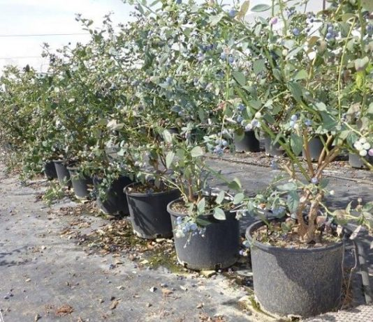 Afini la container ghiveci plantare