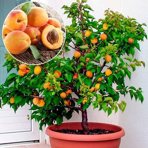 Cais pomi fructiferi pitici
