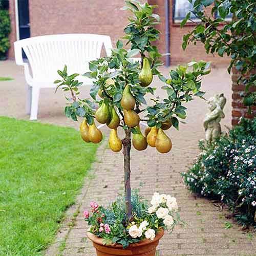 Par pitic - pomi fructiferi pitici