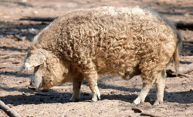 Porcii mangalita