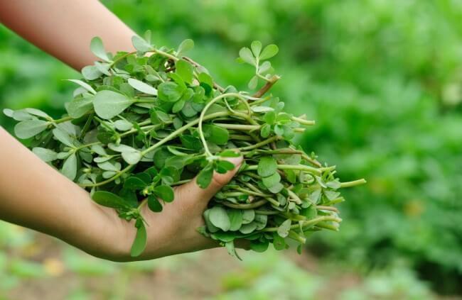 Iarba grasa - beneficii, mod de cultivare