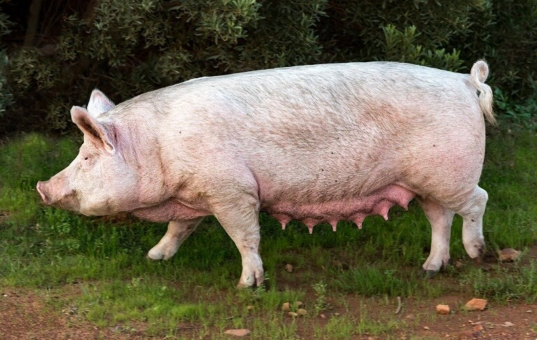 Sisteme de crestere a porcilor
