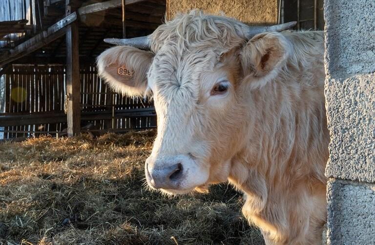 Nutreturi combinate retete vaci tineret