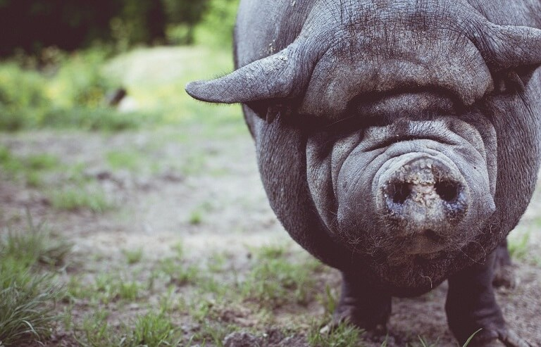 Rasa de porci Stocli - cea mai veche rasa de porcine de la noi.