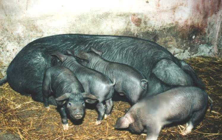Negru de strei rase porci