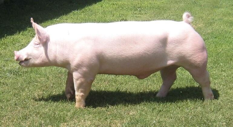 Rasa de porci Yorkshire