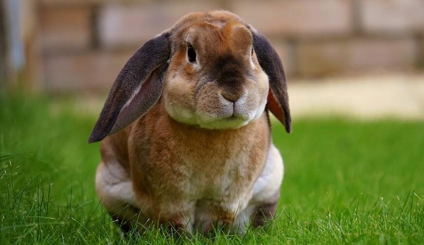 Hrana iepuri