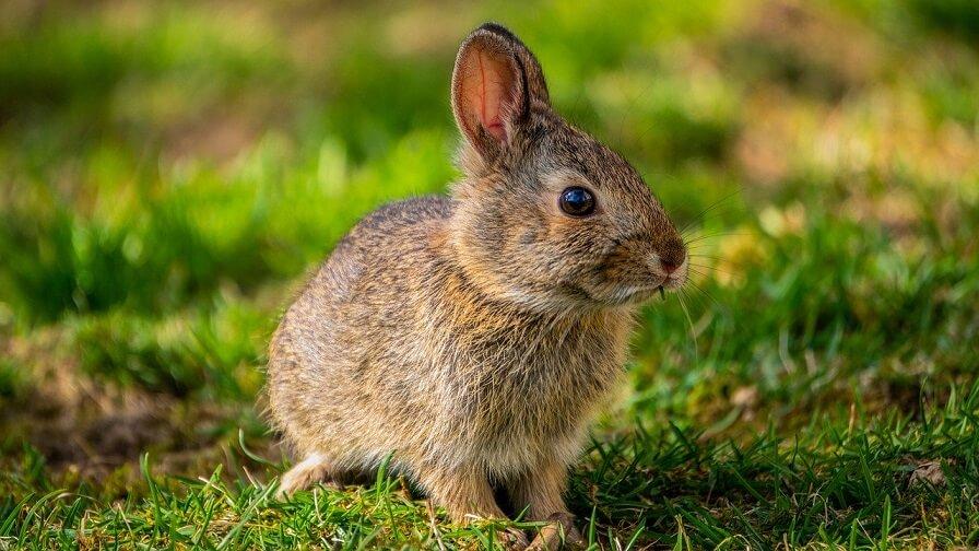 ratii, furaje pentru iepuri