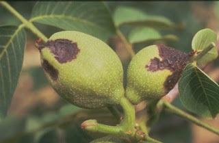 Arsura bacteriana manifestata pe fructe la nuc.