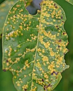 Bolile nucului: Frunza de nuci atacată de arsura bacteriana (Imagine de Dave Bevan)